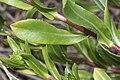 Grindelia integrifolia 6190.JPG