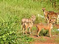 Group of Golden jackal (Canis aureus) കുറുനരി.jpg