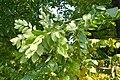 Gymnocladus dioicus JPG1b.jpg