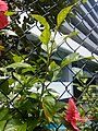 HK 般咸道 Bonham Road 大紅花 China Rose red flower St Paul's College August 2017 Lnv2 03.jpg