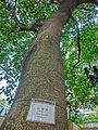 HK CWB Causeway Bay Road 假菩提樹 Ficus rumphii 心葉榕 tree trunk Oct-2013.JPG