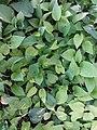 HK Central 愛丁堡廣場 Edinburgh Place 香港大會堂紀念花園 City Hall Memorial Garden green leaves July 2019 SSG 01.jpg