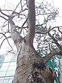 HK Central City Hall 愛丁堡廣場 Edinburgh Place 香港大會堂紀念花園 Memorial Garden trees Dec 2018 SSG 02.jpg