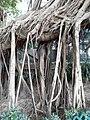 HK SW 上環 Sheung Wan卜公花園 Blake Garden 老榕樹 Chinese banyan tree 氣根 root n trunk February 2020 SS2 13.jpg