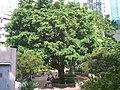 HK Sunday Wan Chai Park Ficus Microcarpa Chinese Banyan B1.JPG
