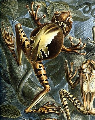 Gastrotheca ovifera - Gastrotheca ovifera in Ernst Haeckel's Kunstformen der Natur