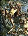 Haeckel Batrachia (detail Gastrotheca ovifera).jpg