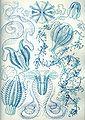 Haeckel Ctenophorae.jpg