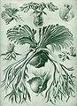 Haeckel Filicinae.jpg