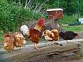 Hahn mit vier Hennen.JPG