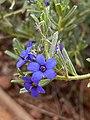 Halgania cyanea flowers.jpg