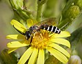Halictus species male (39066308355).jpg