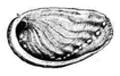 Haliotis rubra shell.png