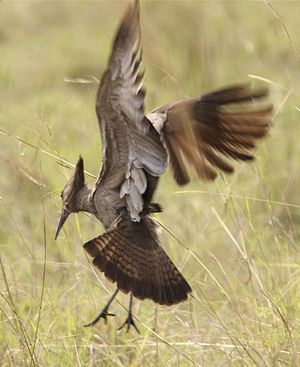 Hamerkop - Hamerkop in flight, with spread tail showing barring