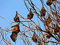 Hanging flying foxes.JPG