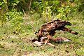 Hawk eat.jpg