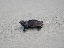 Photo of small turtle walking across sand
