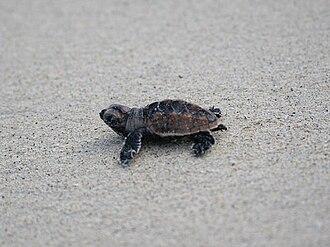 Hatchling - A hawksbill turtle hatchling
