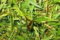 Hawthorn shieldbug in the rain (BG) (7137874311).jpg