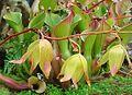 Heliamphora nutans (18564636764).jpg