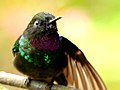Heliangelus exortis (Heliángelus belicoso) - Flickr - Alejandro Bayer (1).jpg