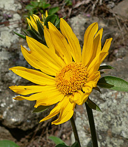 Helianthella castanea