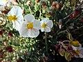 Helianthemum marminorense1.jpg