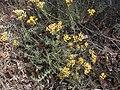 Helichrysum italicum subsp microphyllum g04.jpg