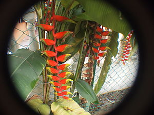 Heliconia rostrata - Grown in Malaysia