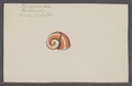 Helix spec. - - Print - Iconographia Zoologica - Special Collections University of Amsterdam - UBAINV0274 089 01 0060.tif