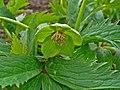 Helleborus viridis 002.JPG