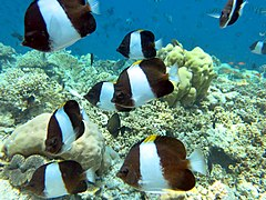 Brown-and-white butterflyfish (Hemitaurichthys zoster)