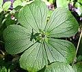 Herb Paris (Paris Quadrifolia) - geograph.org.uk - 434498.jpg