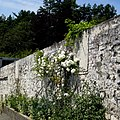 Heritage wall with white roses. MORE INFO IN PANORAMIO-DESCRIPTION - panoramio.jpg