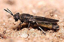 Hermetia illucens Black soldier fly edit1.jpg