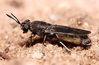 Stratiomyidae Family of flies
