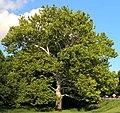 Hethert tree.jpg