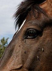 horse flies haematopota pluvialis feeding on a horses head