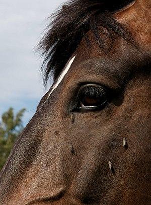 Horse-fly - Horse-flies Haematopota pluvialis feeding on a horse's head