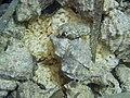 Hexaplex trunculus Gelege.jpg