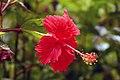 Hibiscus Andersonii.jpg