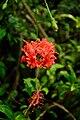 Hibiscus Hybrid @ Waimea Valley (5217095158).jpg