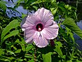 Hibiscus laevis - Halberdleaf Rosemallow.jpg