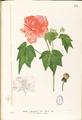 Hibiscus mutabilis Blanco1.175-original.png
