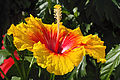 Hibiscus rosa-sinensis 'Rainbow Sherbet' flower in private Austrian garden on 2014-09-20.jpg