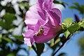 Hibiscus syriacus 3624.jpg