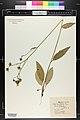 Hieracium vulgatum herbarium (01).JPG