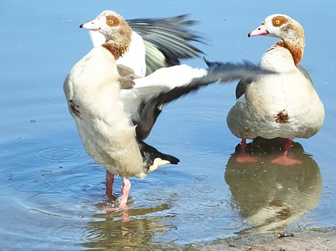 Highfields Egyptian Goose 0258.jpg