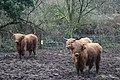 Highland Cattle - geograph.org.uk - 305595.jpg