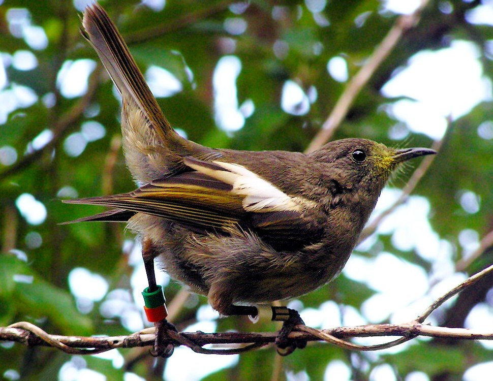 Hihi (Stitchbird)-1